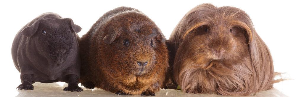 different guinea pigs breeds e1589642162655