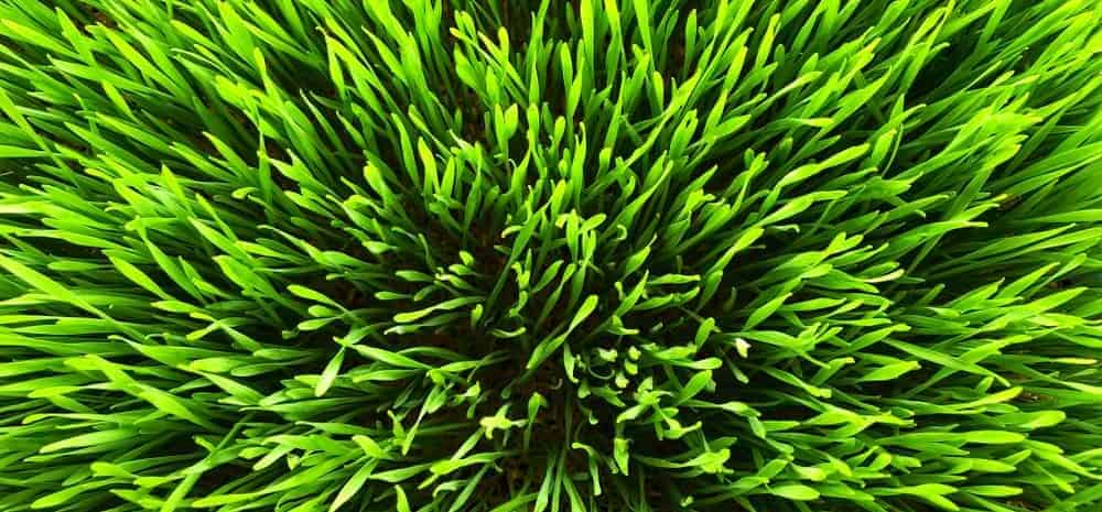 fresh wheatgrass e1590502394242