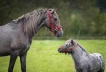 Differences between Horses & Ponies