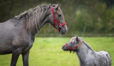 grey horse and pony