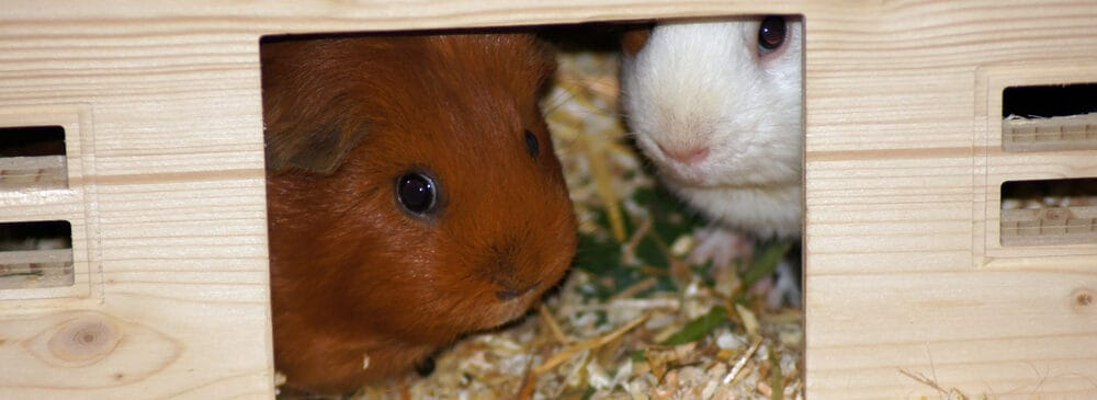 guinea pig a in a house e1589645319729