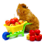 10 Best Guinea Pig Toys