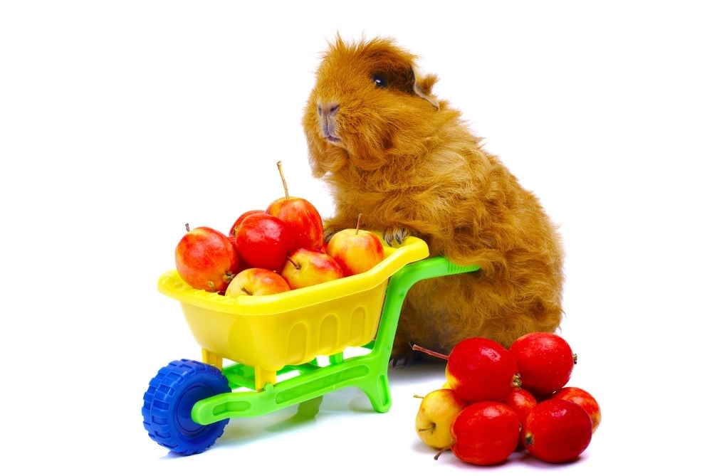 guinea pig and apples