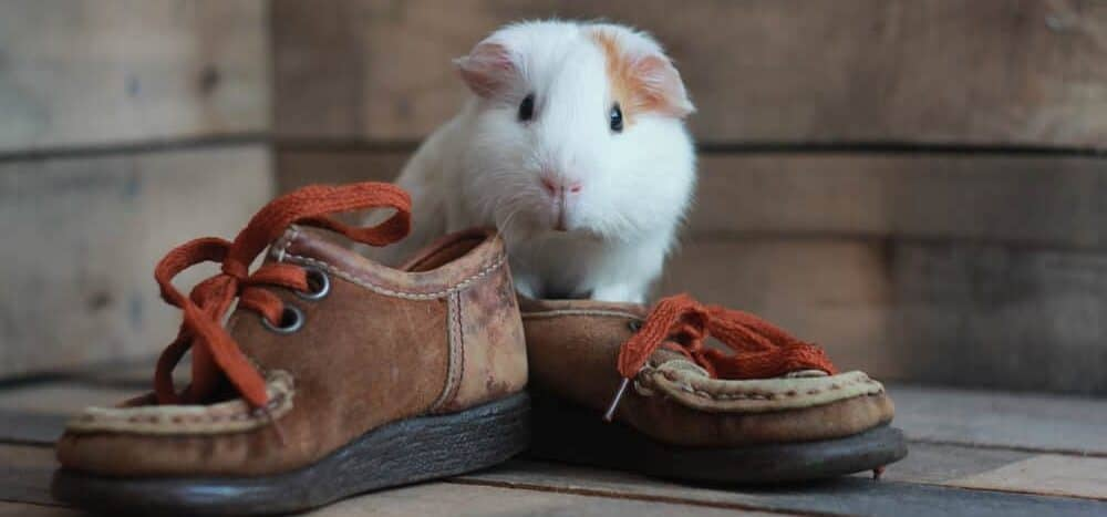 guinea pig and boots e1589730224633