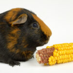 Can Guinea Pigs Eat Sweetcorn?