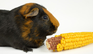 guinea pig and corn