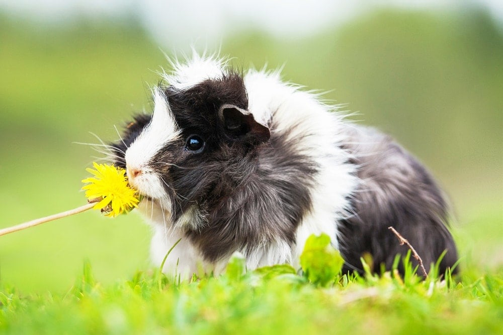 guinea pig and dandelions