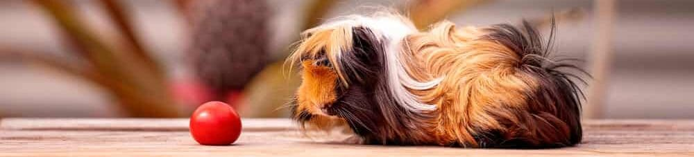 guinea pig and food e1590158202584