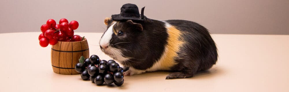 guinea pig and grapes e1589728094514
