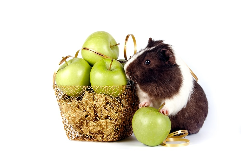 guinea pig and green apples