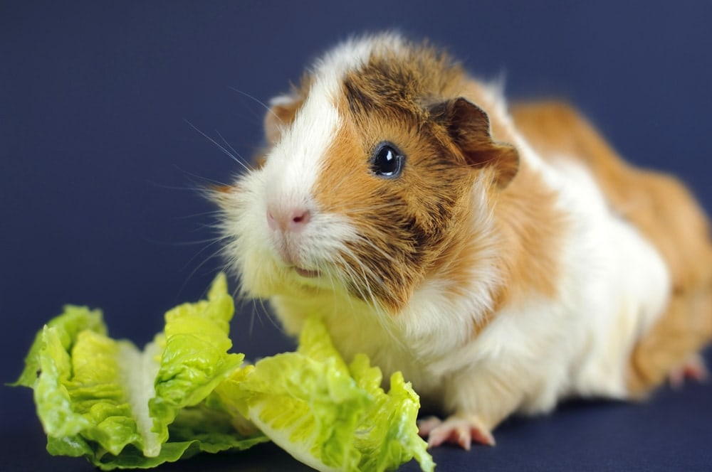 guinea pig and lettuce