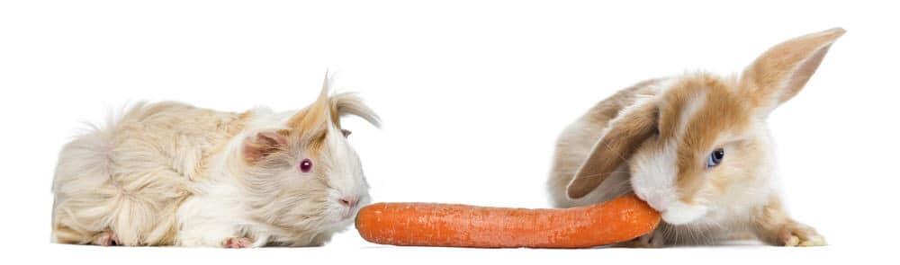 guinea pig and rabbit e1590141445751