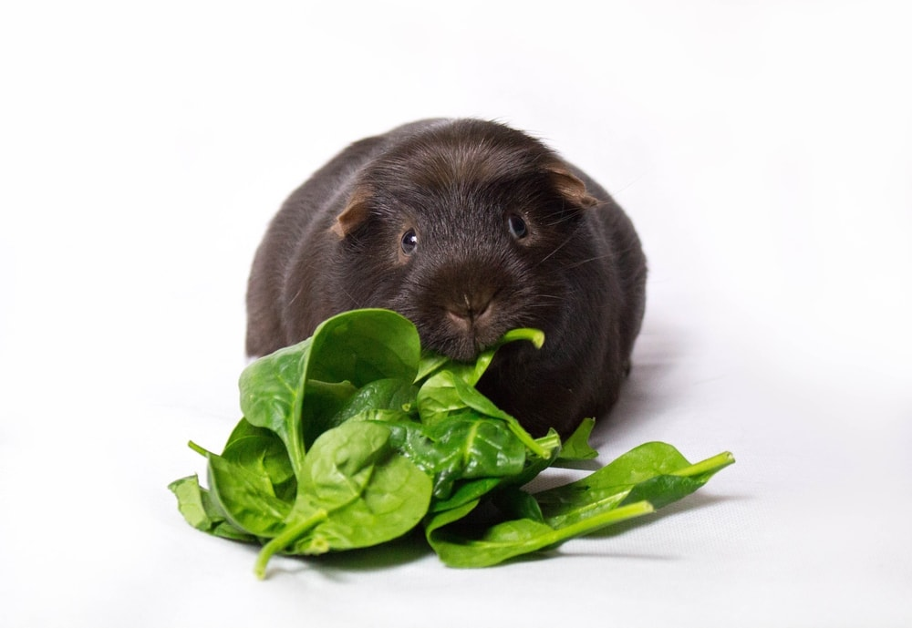 guinea pig and spinach