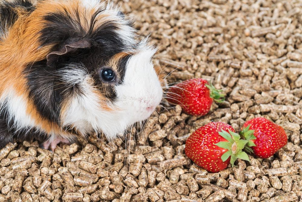 guinea pig and strawberry