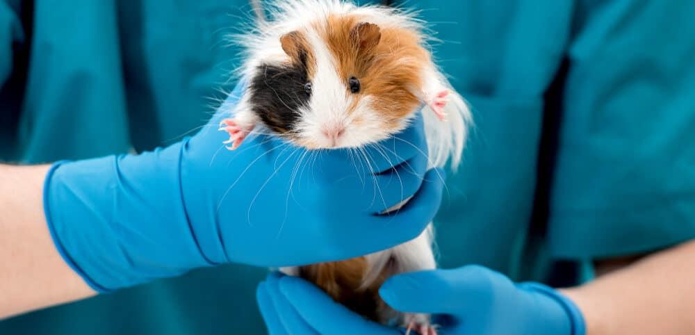 guinea pig at doctor 1 e1589639180497