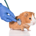 Average Guinea Pig Lifespan: How Long Do They Live?