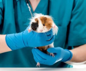 guinea pig at doctor 2