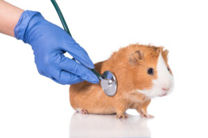 guinea pig at doctor
