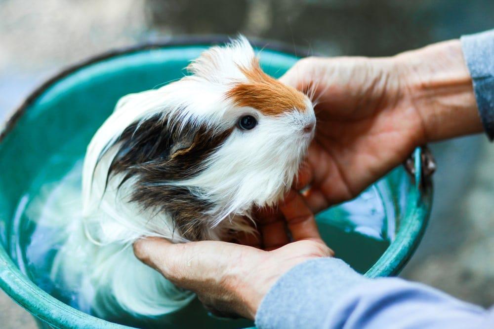 guinea pig bathing 1