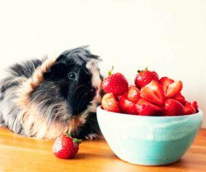 guinea pig berries heaven