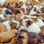 Breeding Guinea Pigs: What You Need to Know