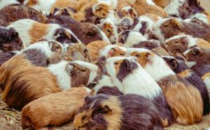 guinea pig billion