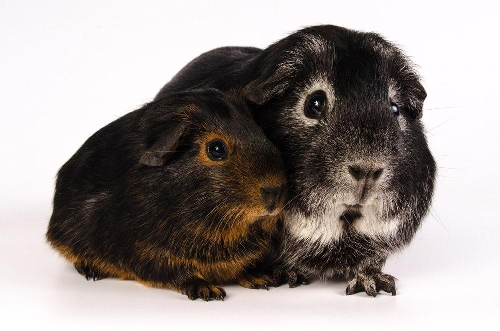 guinea pig black