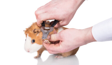 guinea pig clipping nails 1