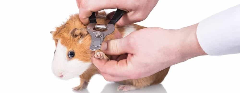 guinea pig clipping nails e1590144302508