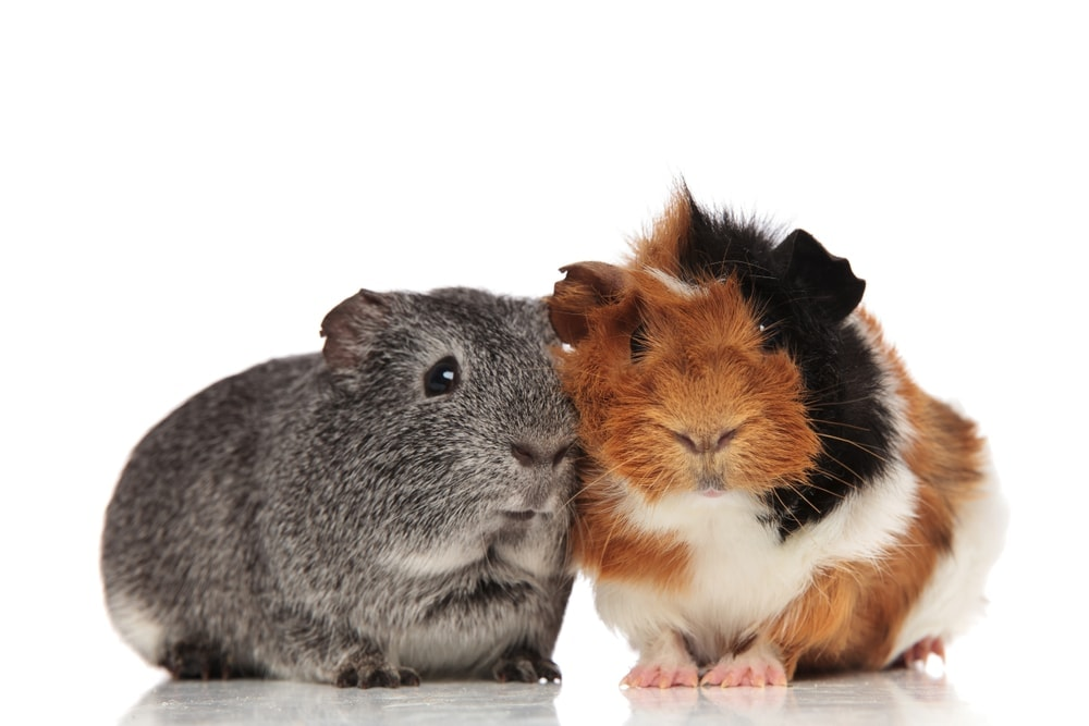 guinea pig couple