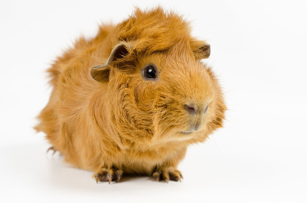 guinea pig cute red