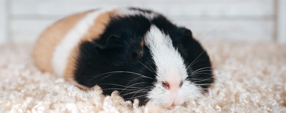 guinea pig dead e1589726128421