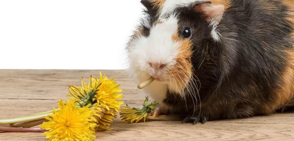 guinea pig eat dandelion happily e1589727117236