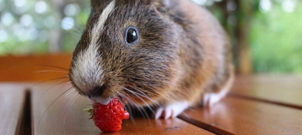 guinea pig eating berries e1590160621315