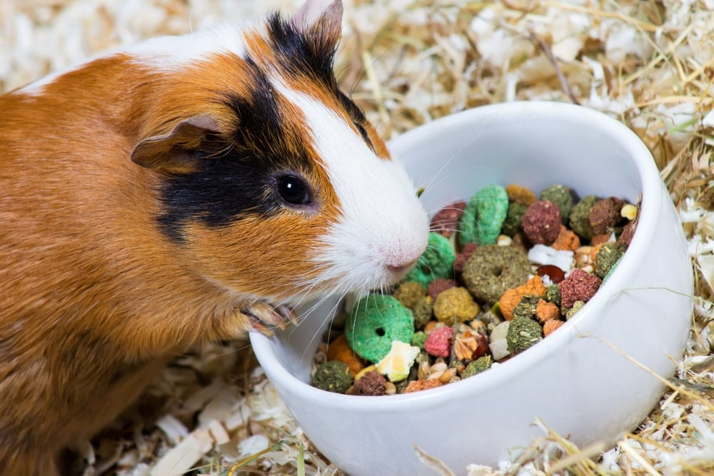 guinea pig eating food