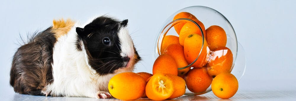 guinea pig eating orange e1590157460493
