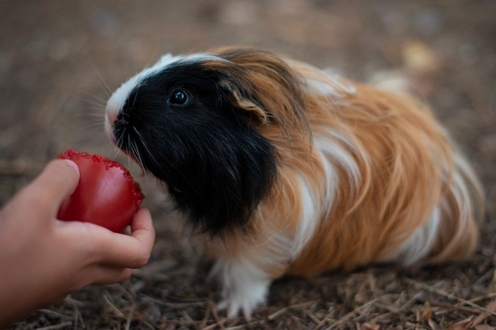 guinea pig eating vegetables