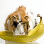 Can Guinea Pigs Eat Bananas?
