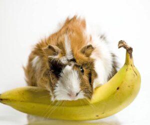 guinea pig eats banana
