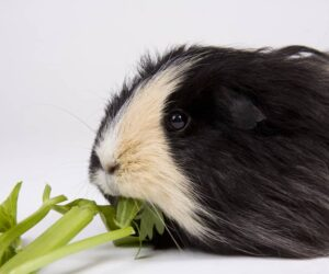 guinea pig eats celery