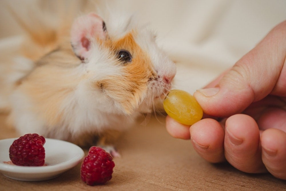 guinea pig eats grape