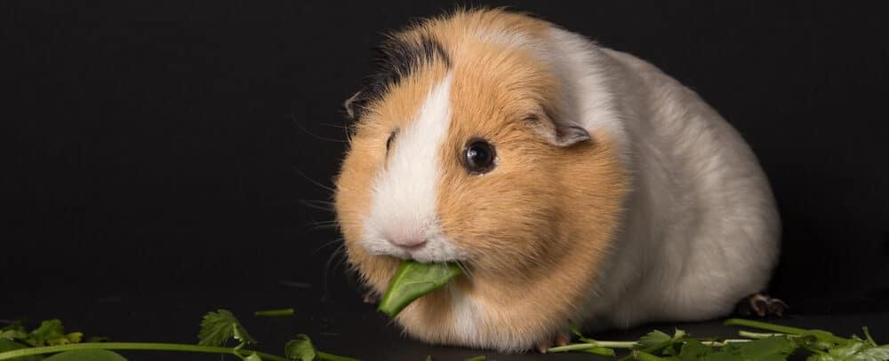 guinea pig eats leaves e1589646755365