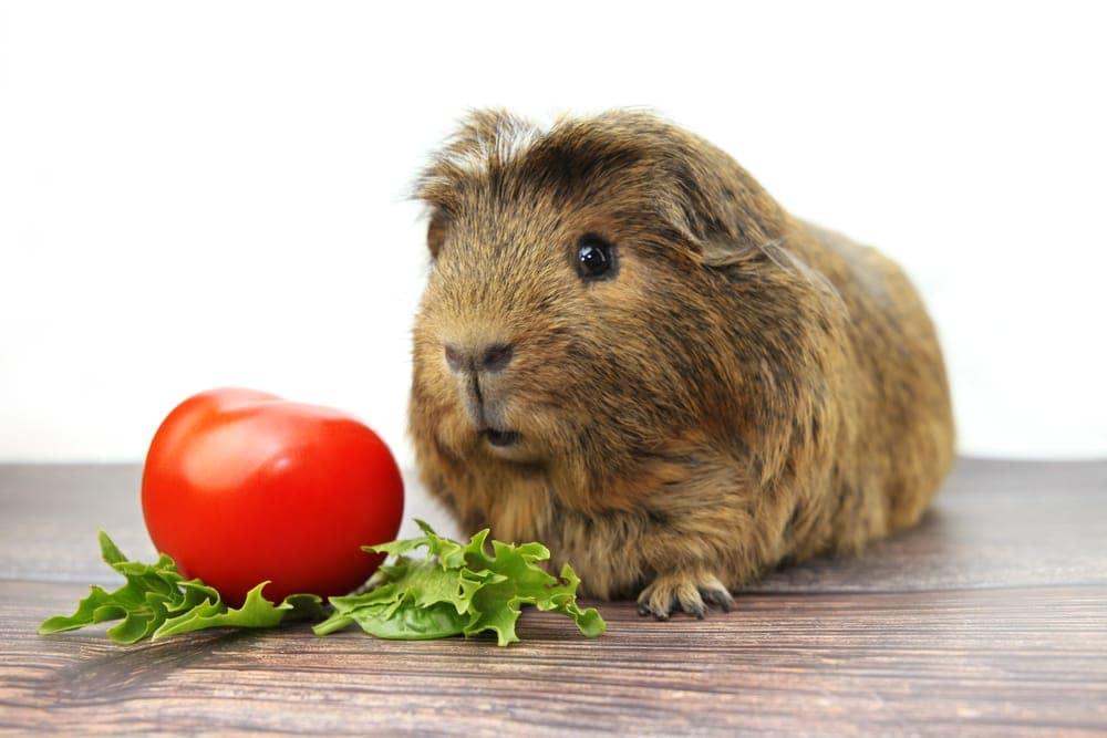 guinea pig eats tomato