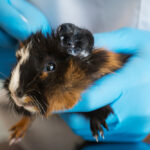 Eye Infections & Eye Problems in Guinea Pigs