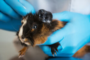 guinea pig eye infection