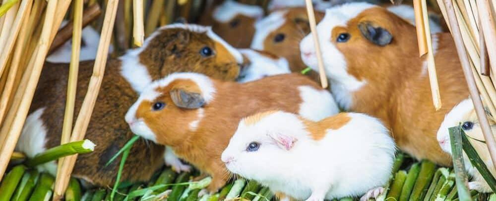 guinea pig family e1589644465189