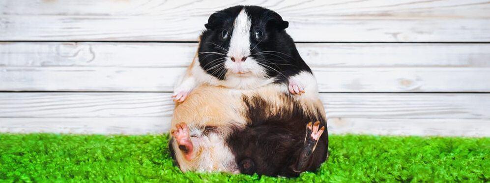 guinea pig fat e1589639980659
