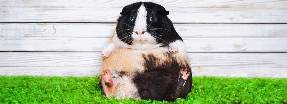guinea pig fat like ball e1589645686945