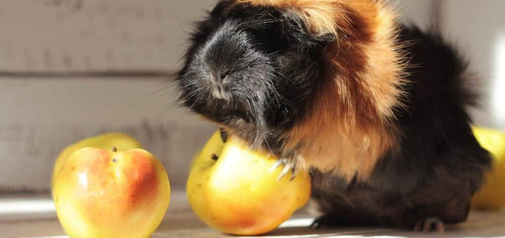 guinea pig funny yellow apple e1589646114781
