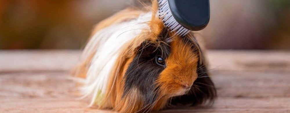 guinea pig grooming e1589643997622